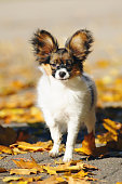 Continental Toy Spaniel dog Papillon puppy standing on an asphalt