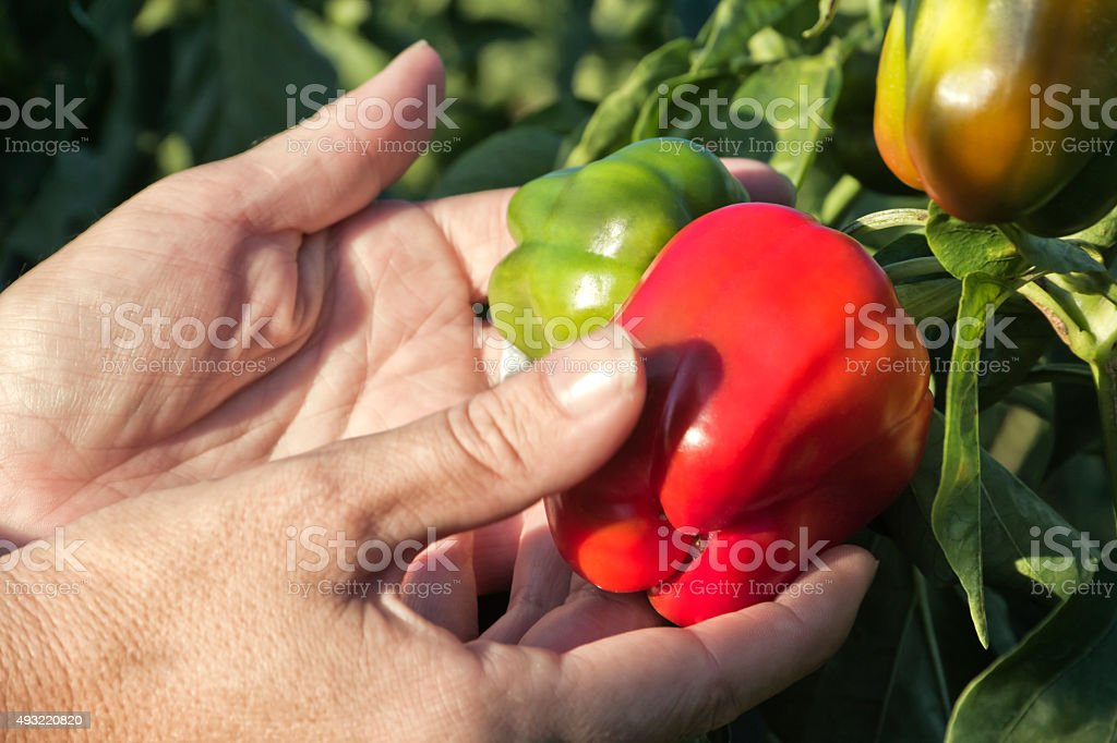 Control of the pepper crop stock photo