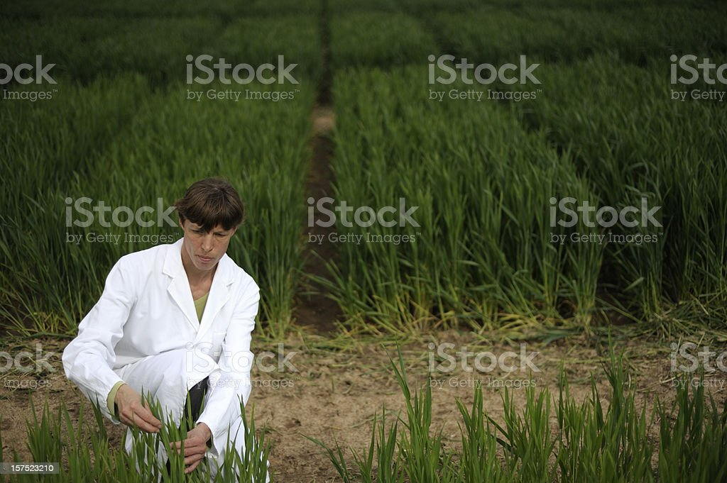 Controlling scientific experiment with crop cultures royalty-free stock photo