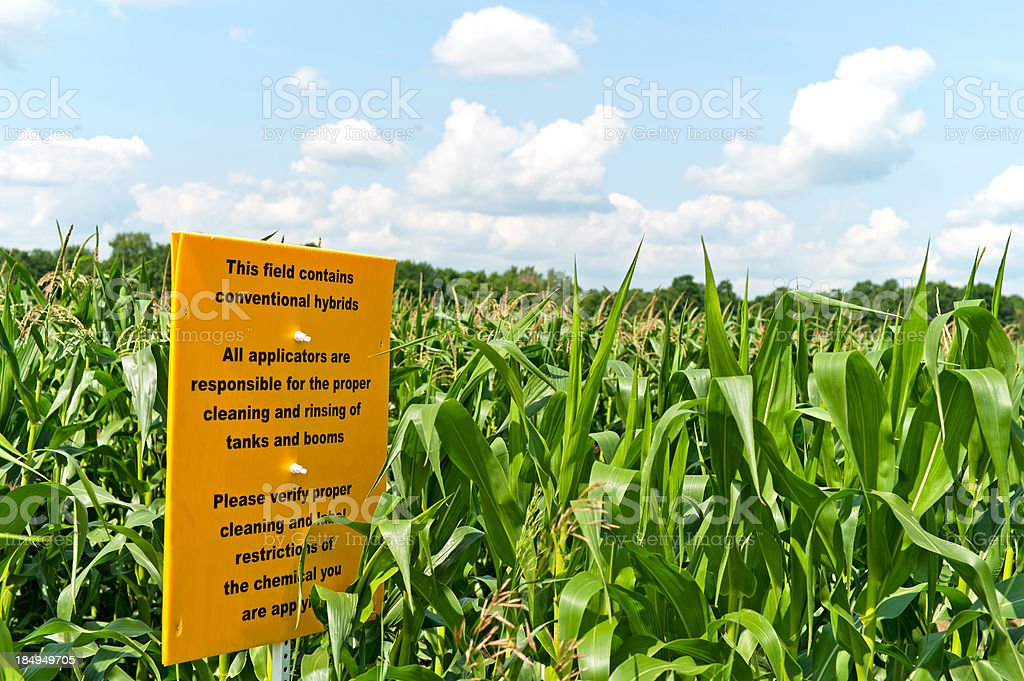 Conventional Hybrid Corn Field stock photo