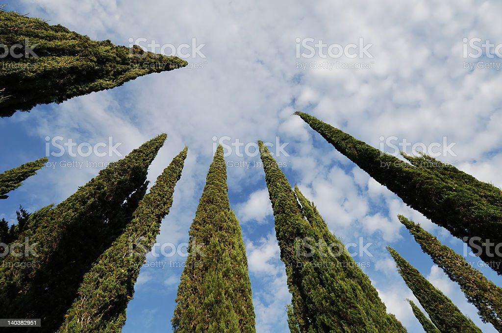 Converging cypresses 2 royalty-free stock photo