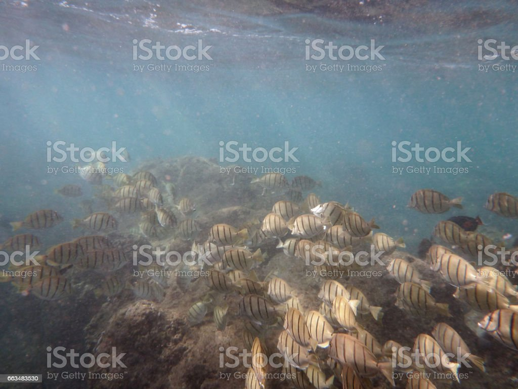 Convict Tang beneath the surface of the water with coral below them stock photo