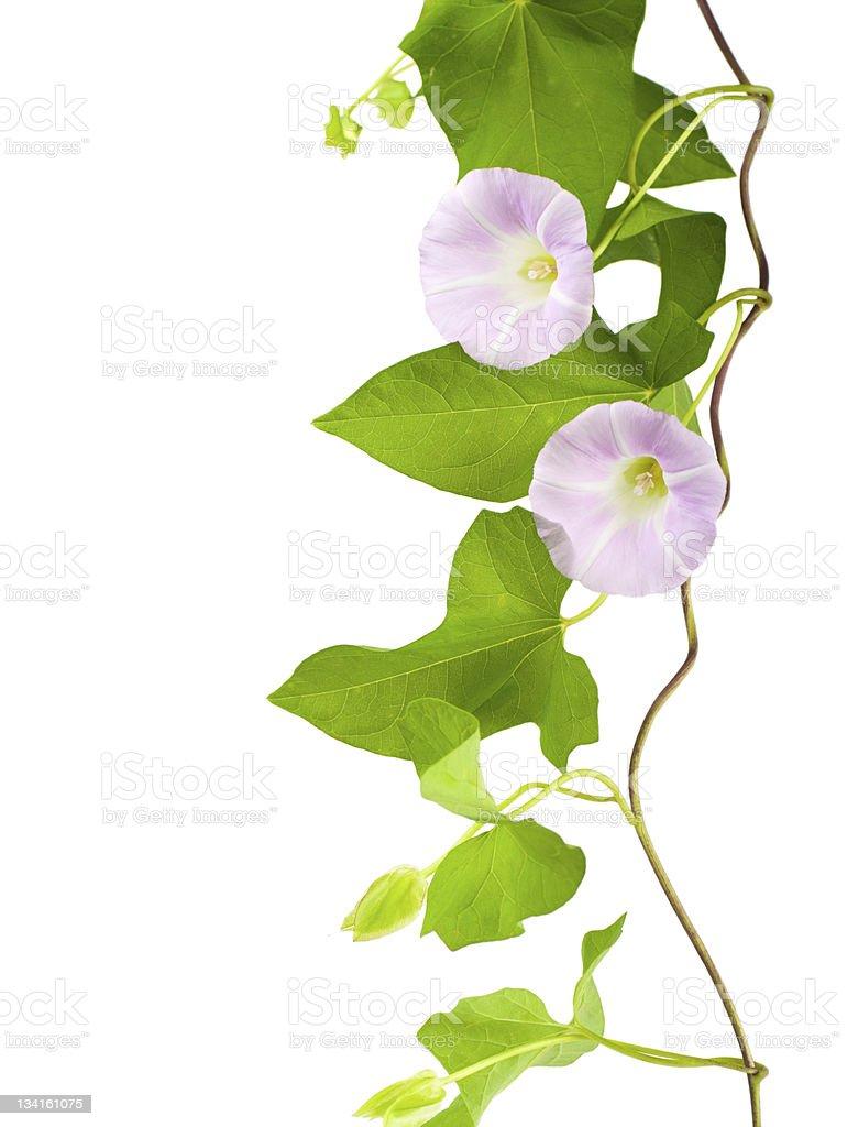 Convolvulus flowers stock photo