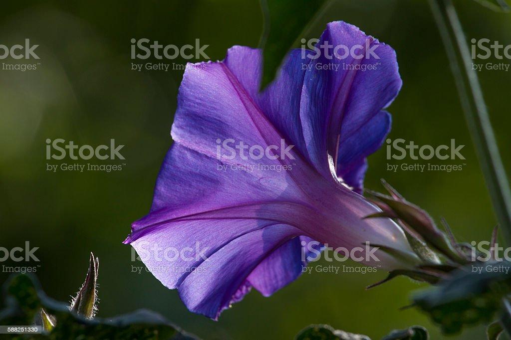 Convolvulus photo macro. Summer sun sunset. Closeup violet color stock photo