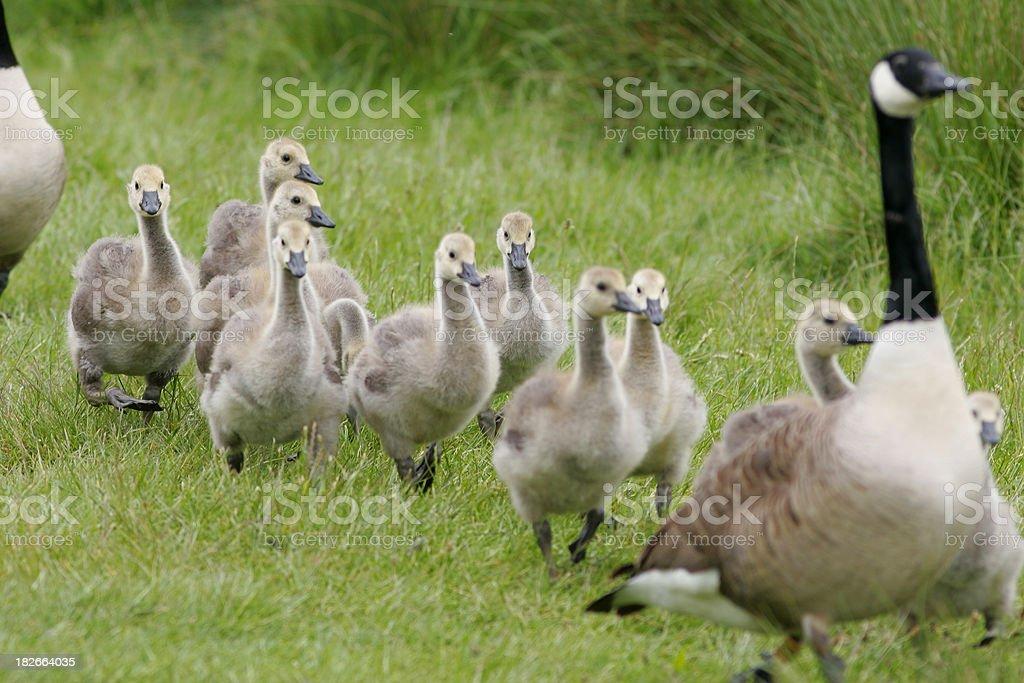 Convoy of Goslings stock photo