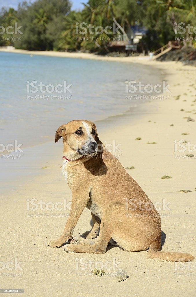 Cook Island Dog royalty-free stock photo