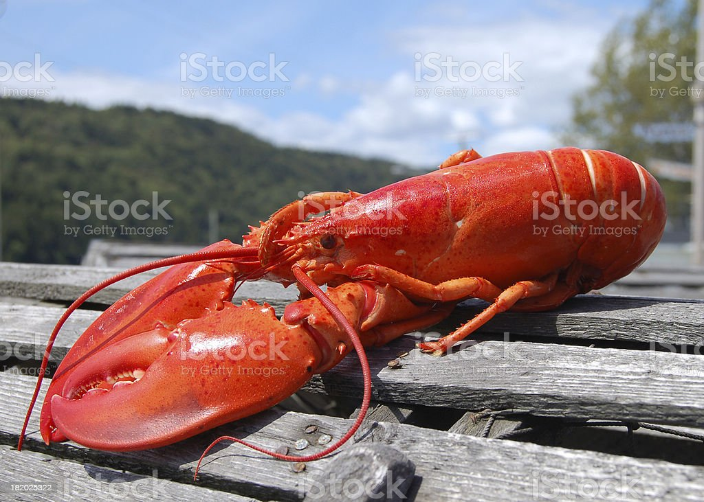 Cooked Lobster on trap stock photo