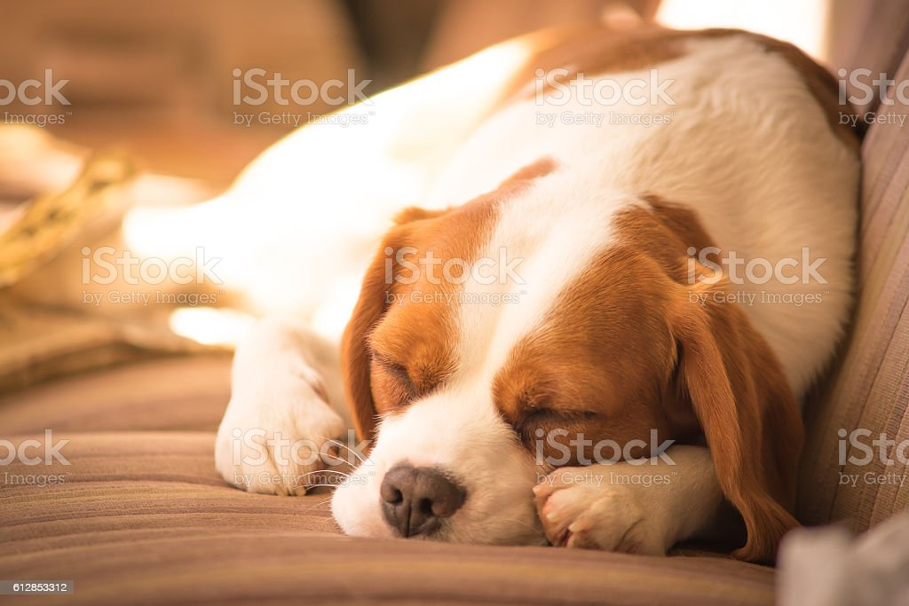 Cookie, the Beaglier stock photo