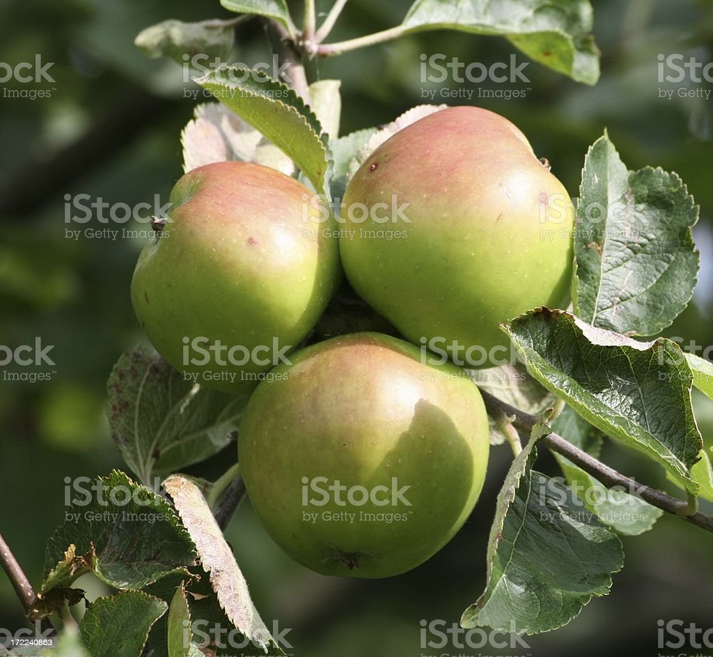 Cooking Apples on Tree stock photo