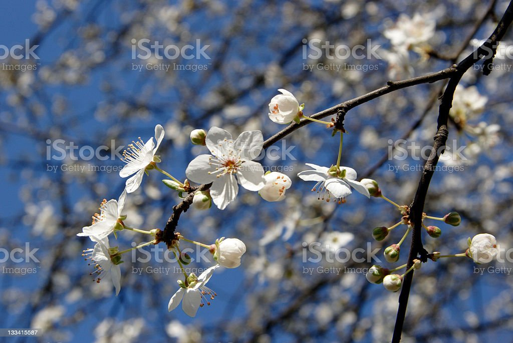 cool blossom royalty-free stock photo