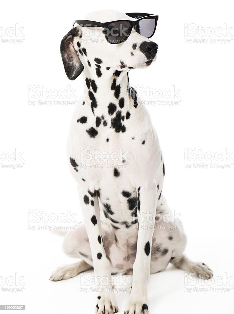 Cool Dalmatian with Sunglasses stock photo