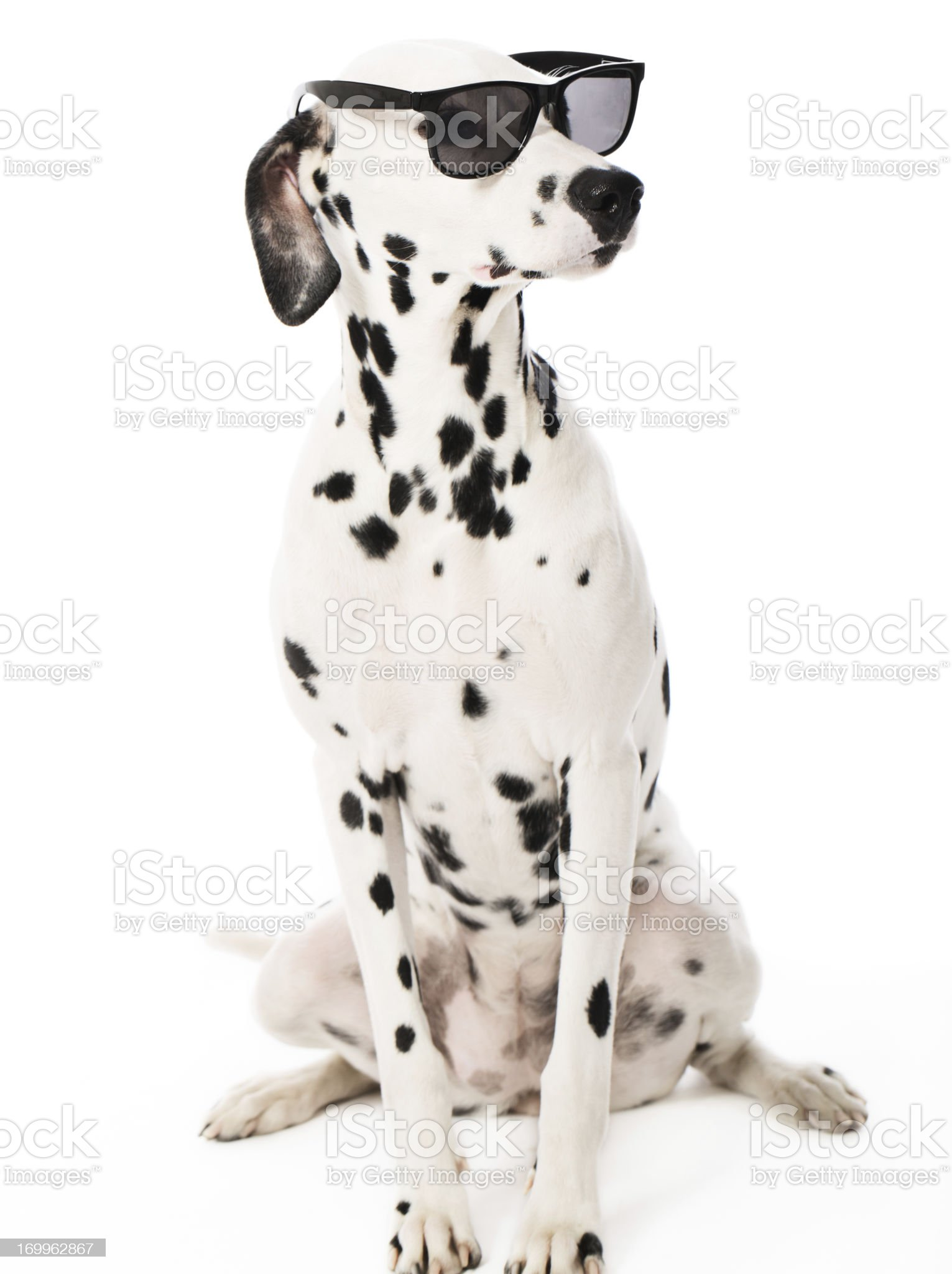 Cool Dalmatian with Sunglasses royalty-free stock photo