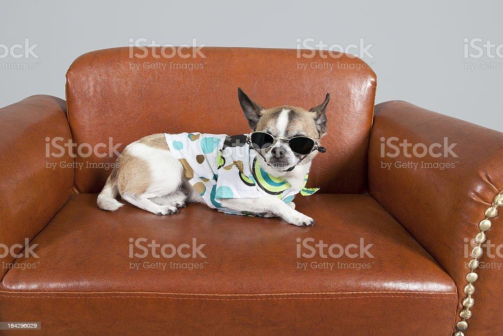 cool dog dude on leather sofa stock photo
