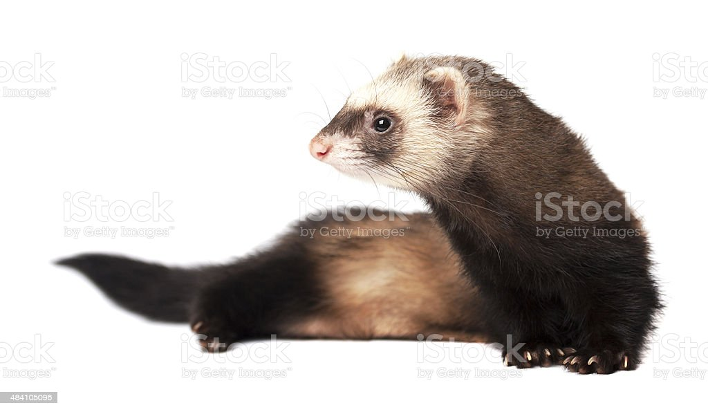 Cool ferret isolated stock photo