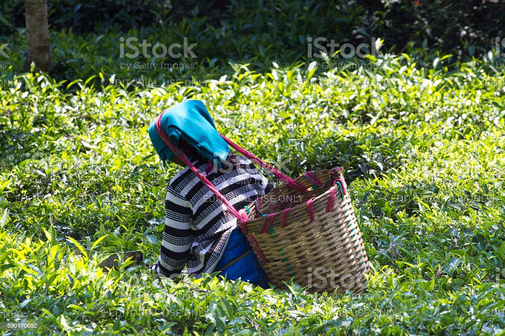 Coonoor , Tamil Nadu, India, March 22, 2015: Unidentified woman collect stock photo