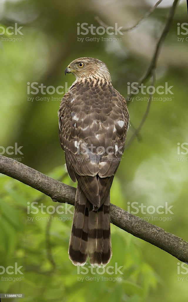 Cooper's hawk Accipiter cooperii royalty-free stock photo