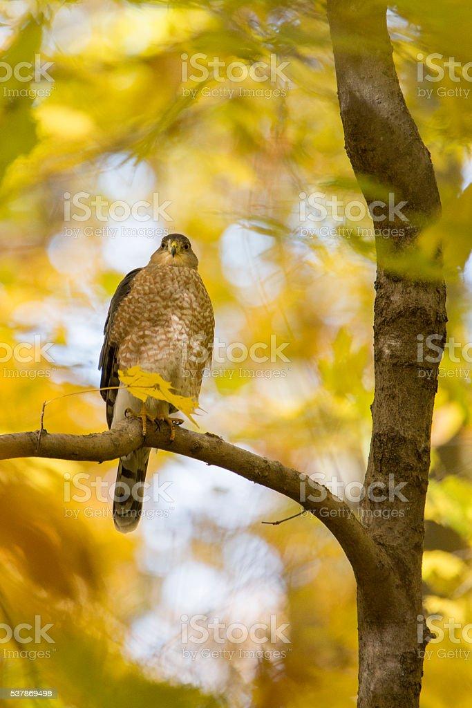 Cooper's hawk in autumn stock photo