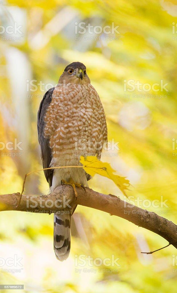Cooper's hawk in fall stock photo