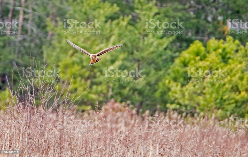 Cooper's Hawk in the air hunting. stock photo