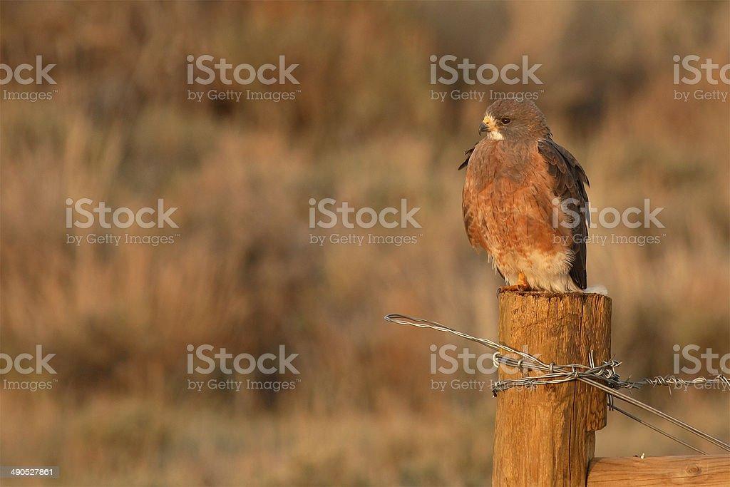 Cooper's Hawk On Perch stock photo
