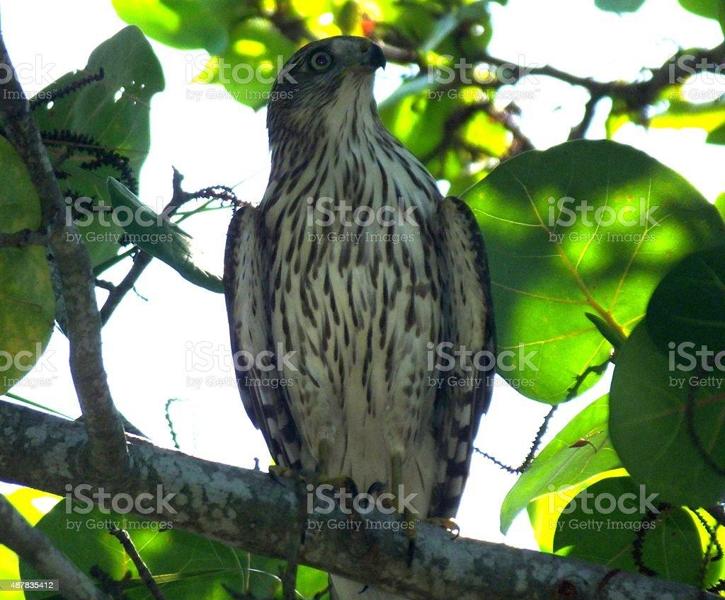 Cooper's Hawk (Accipiter cooperii) stock photo