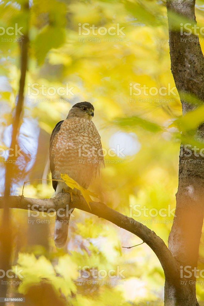 Cooper's hawk stock photo