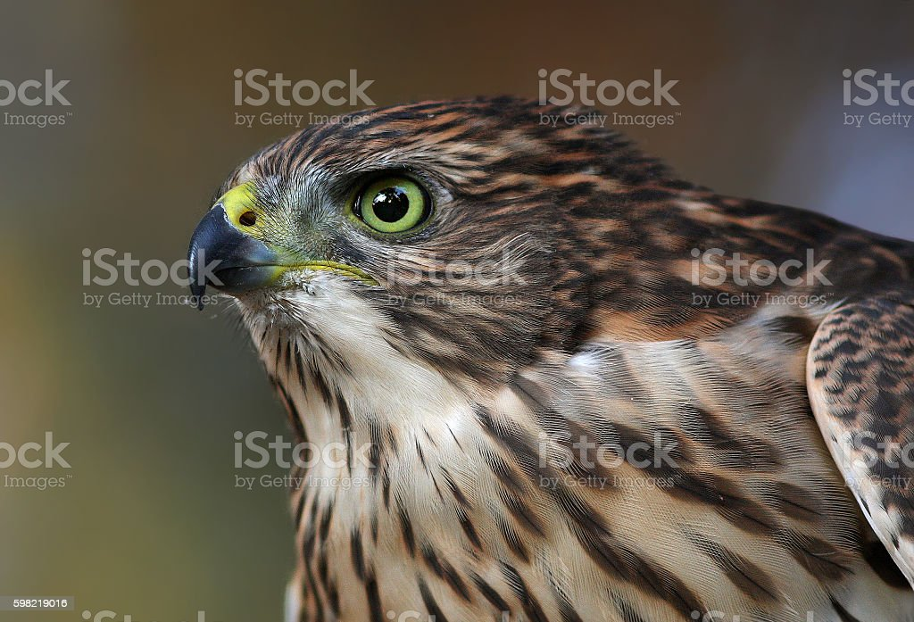 Cooper's hawk portrait stock photo