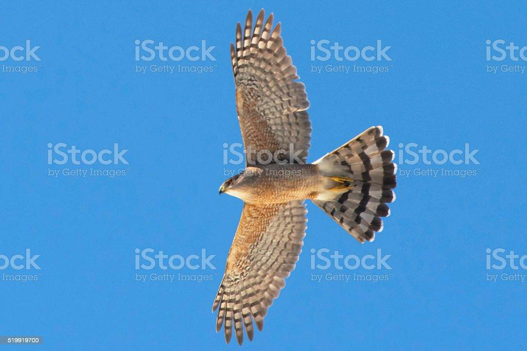 Cooper's Hawk Soaring stock photo