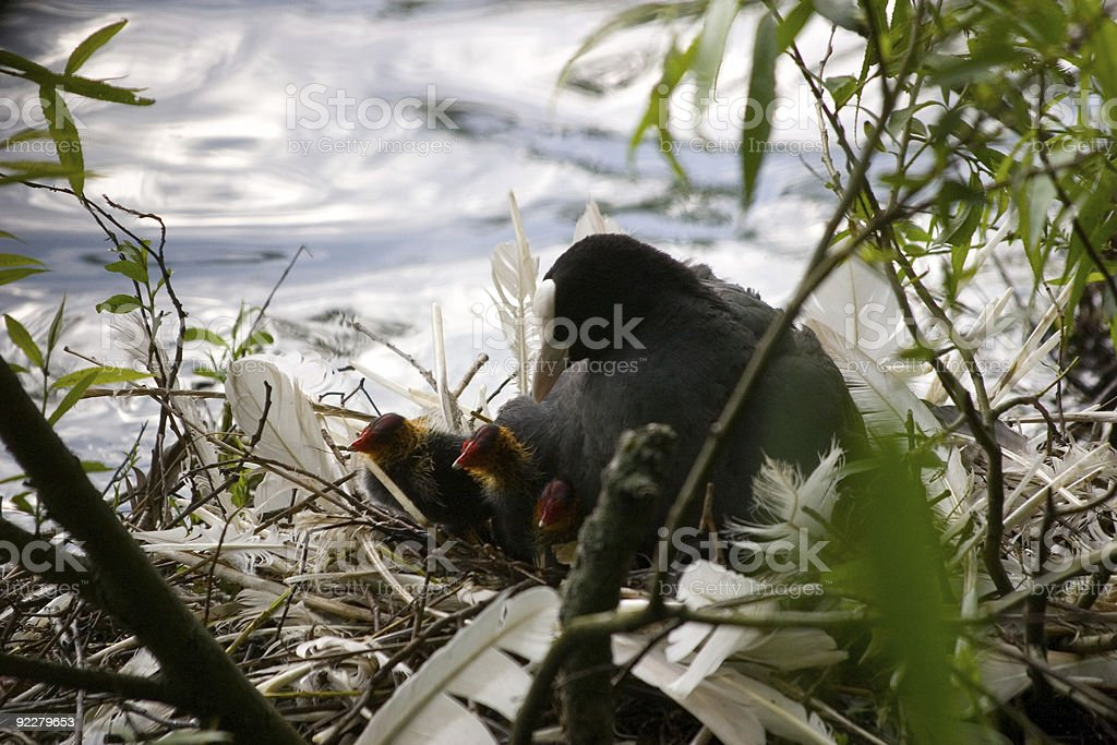 Coot and chicks on her nest stock photo