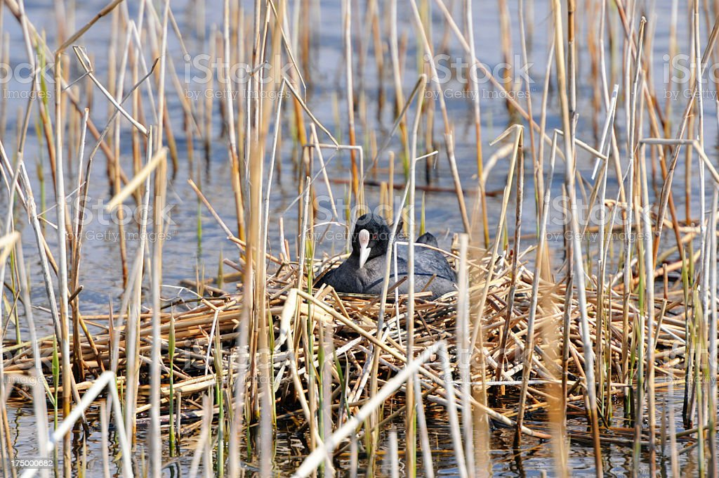 Coot incubating on the nest (Germany) stock photo
