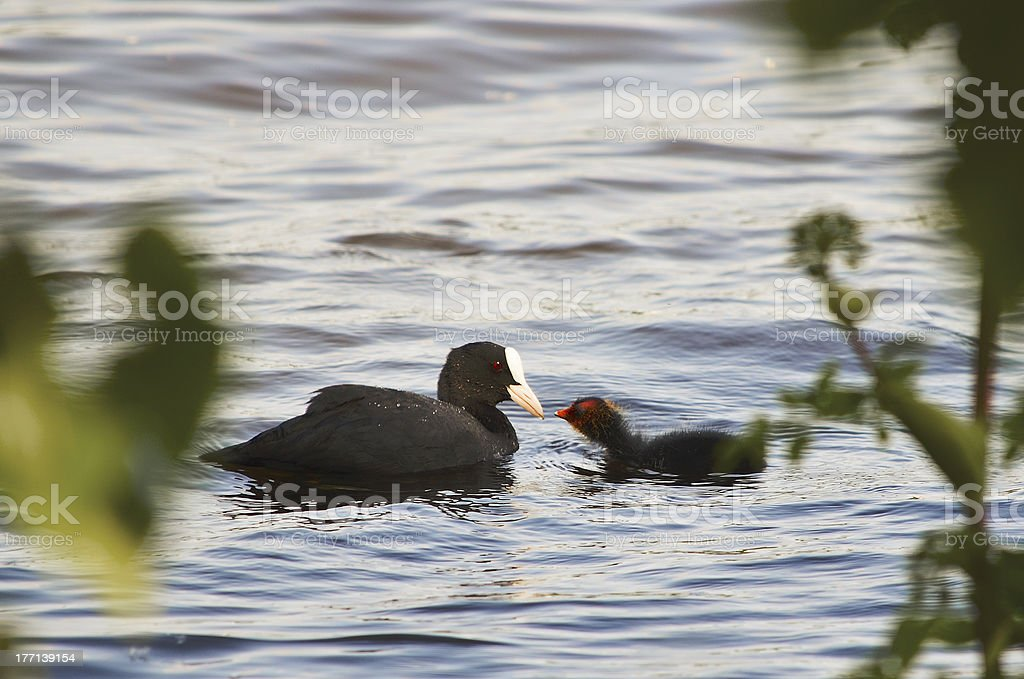 Coot Mother and Child stock photo