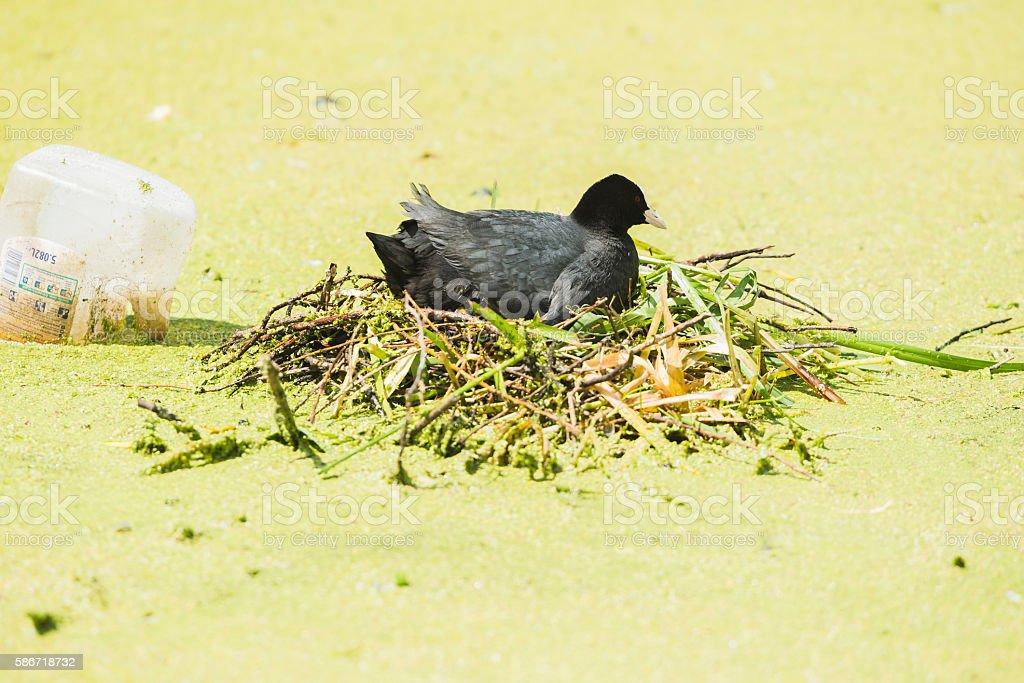 Coot (Fulica atra) on nest, Leiden, Zuid-Holland, Netherlands stock photo