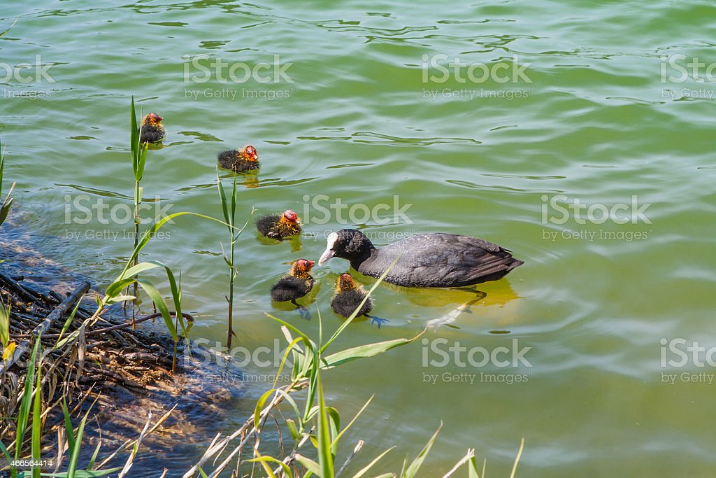 Coot with juveniles stock photo