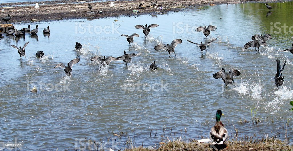 Coots stock photo
