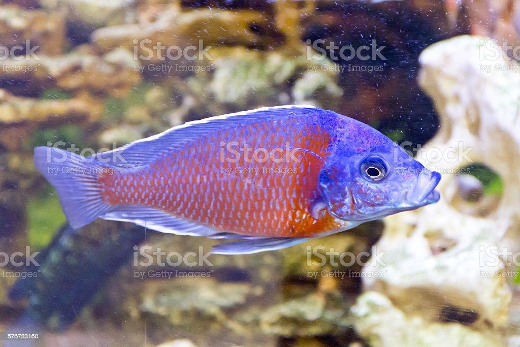 Copadichromis Kadango in aquarium stock photo