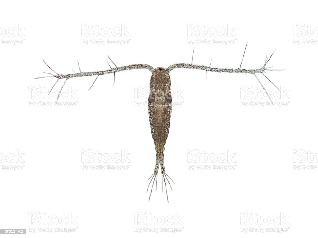 Copepod (Zooplankton) are a group of small crustaceans found in the marine and freshwater habitat. stock photo