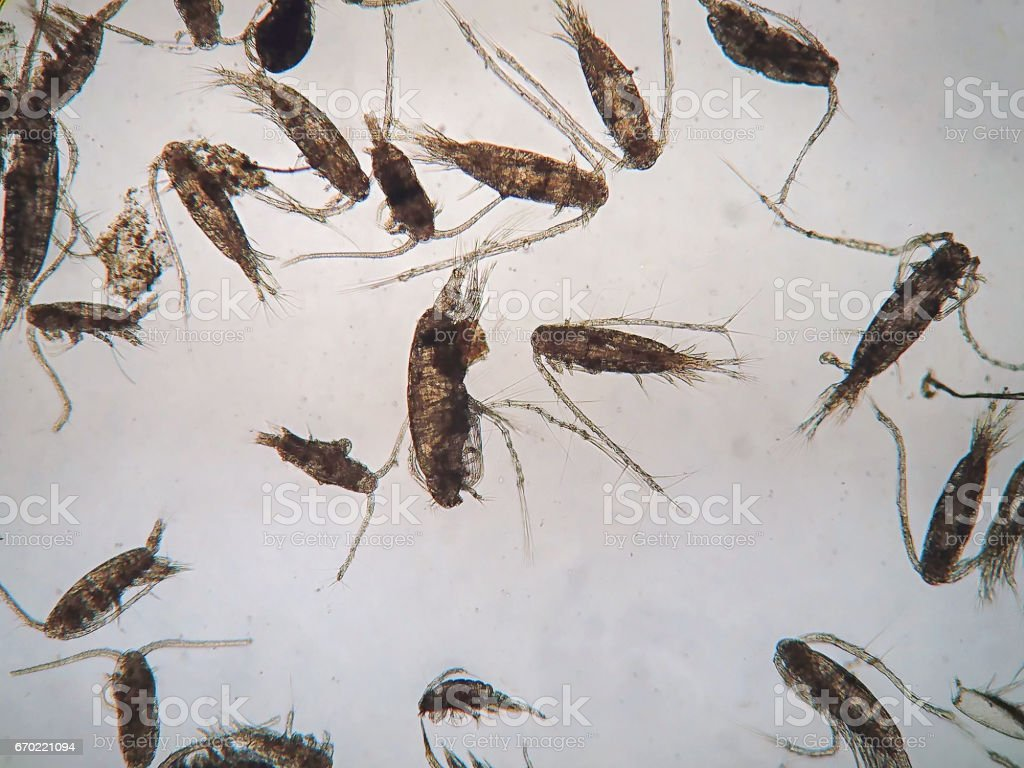 Copepods are under microscope view. stock photo