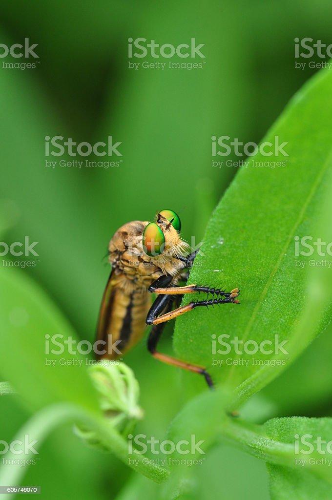 Cophinopoda chinensis stock photo
