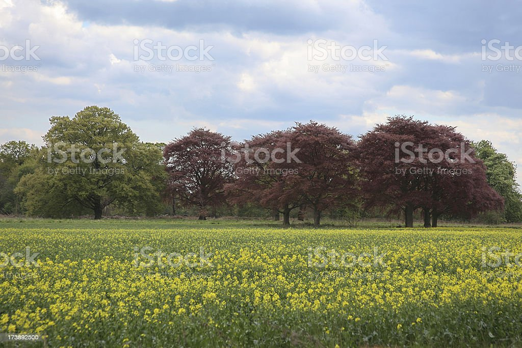 Copper beech on the field of rapeseed royalty-free stock photo