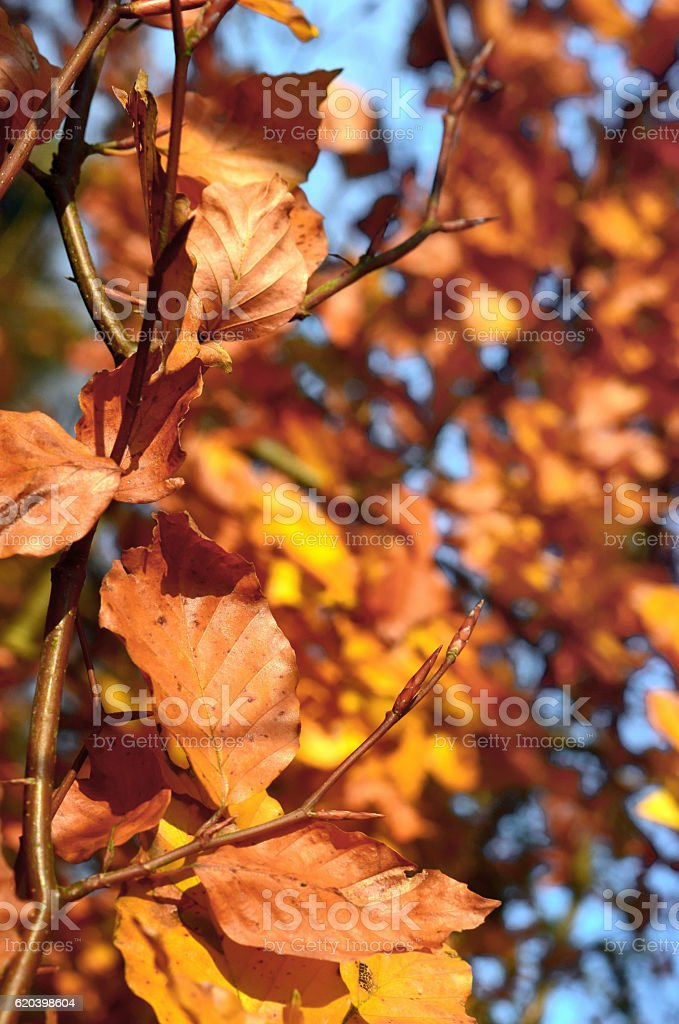 Copper Coloured Leaves stock photo
