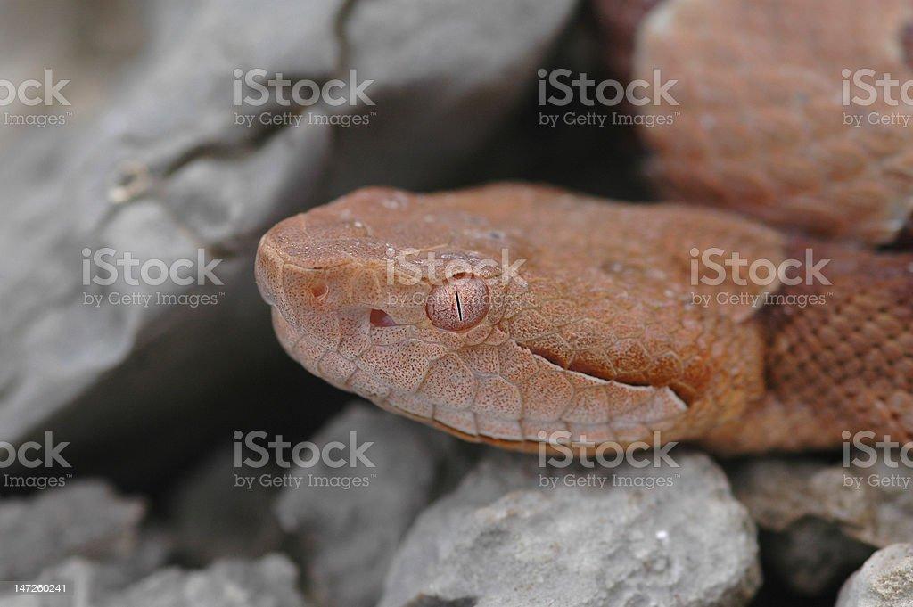 Copper Head stock photo