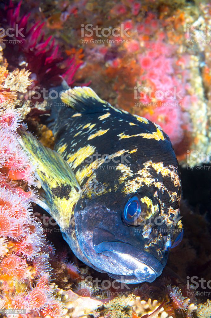 Copper rockfish on reef stock photo