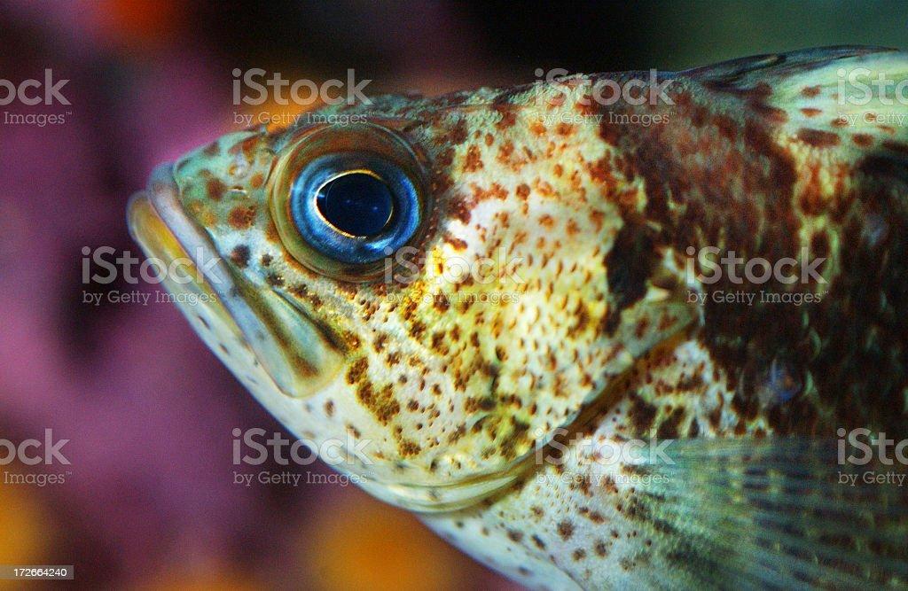 Copper Rockfish royalty-free stock photo