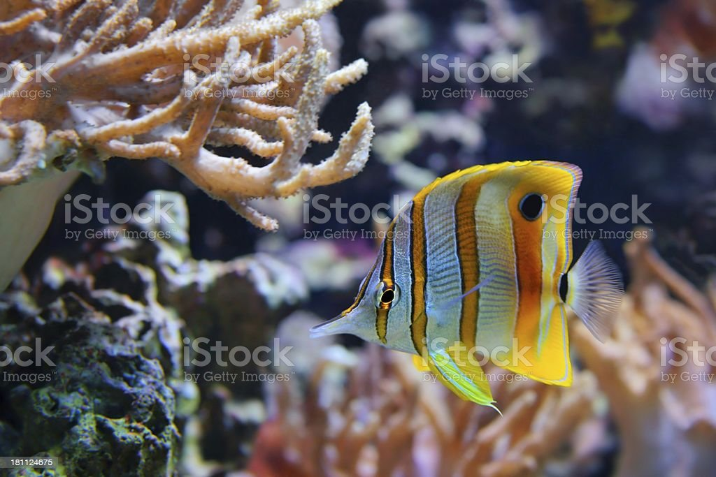Copperband Butterflyfish (Chelmon rostratus), also commonly called the Beak Coralfish royalty-free stock photo