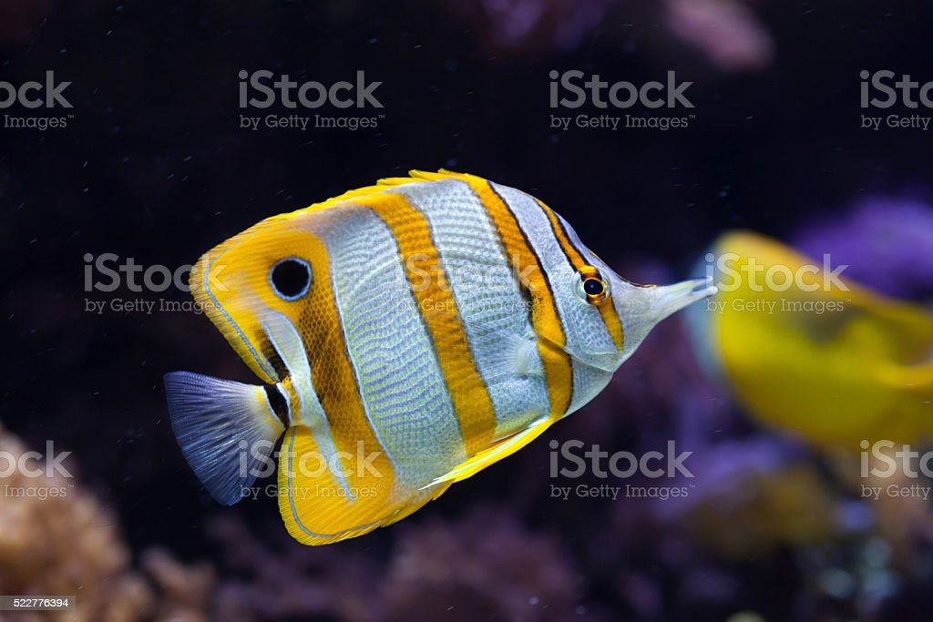 Copperband butterflyfish (Chelmon rostratus). stock photo