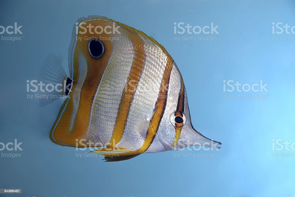 Copperband Butterflyfish royalty-free stock photo