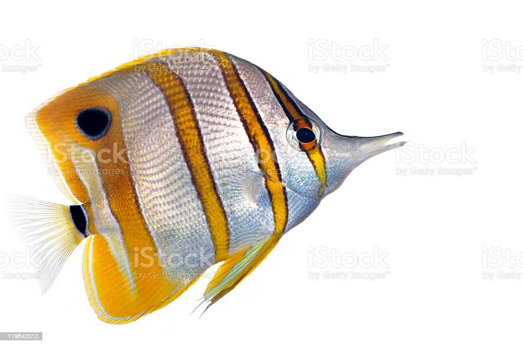 Copperbanded Butterfly fish  (Chelmon Rostratus) stock photo