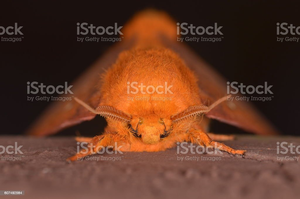 Copper-colored moth with curved antannae, facing camera stock photo
