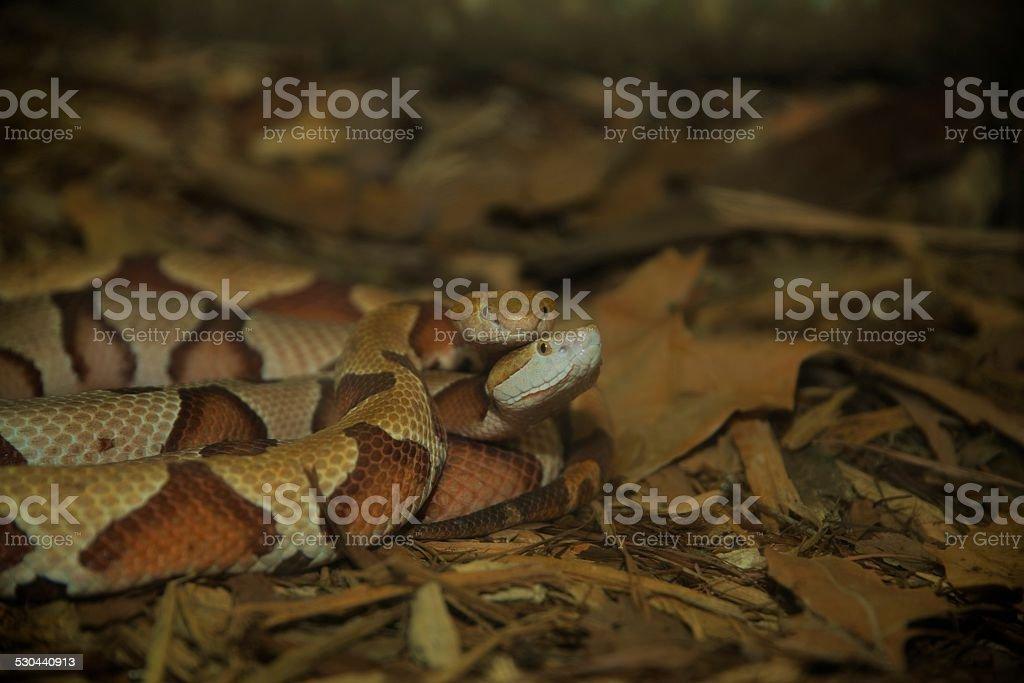 Copperhead Courtship stock photo