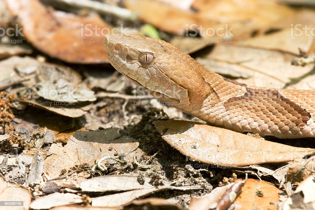 Copperhead (Agkistrodon contortrix) stock photo